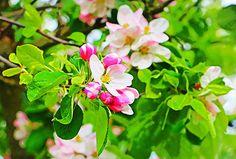 'Apfelblüte II' von Uwe Ruhrmann bei artflakes.com als Poster oder Kunstdruck $16.63