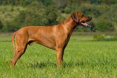 Rhodesian Ridgeback as one of the most dangerous dogs Dog Breeds List, Cute Dogs Breeds, Best Dog Breeds, Best Dogs, Aggressive Dog Breeds, Most Cutest Dog, Scary Dogs, Dangerous Dogs, Rhodesian Ridgeback