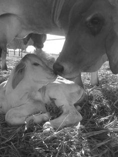 Sweet Brahman mommas <3 my favorite breed of cattle!!!