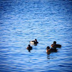 Troldænder ved Assens #visitfyn #fyn #nature #visitdenmark #naturelovers #nofilter #natur #denmark #danmark #dänemark #landscape #assens #mitassens #vildmedfyn #fynerfin #assensnatur #vielskernaturen #visitassens #forrest #instapic #picoftheday #sea #november #duck #ænder