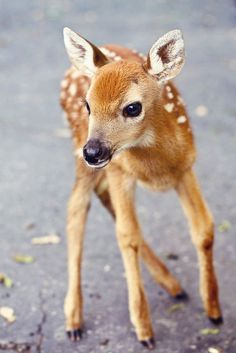 "610. aww baby fawn Adorable Animals Pets cats cute animals deer dogs lions squirrels tigers wolves pets adorable nature inspiration horses baby adorable amazing awesome nice colorful beauty sun Friends love happy beautiful summer fun sea beach travel adventure from <a href=""http://whatchickstalkabout.blogspot.com/"" target=""_blank"">WhatChicksTalkAbout.blogspot.com</a>"