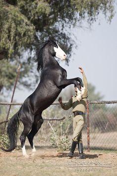 mahwari horse | SHIVRAJ - Marwari - War Horse of the Maharaja
