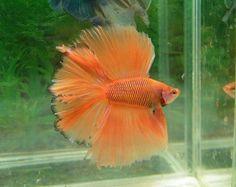 Orange doubletail