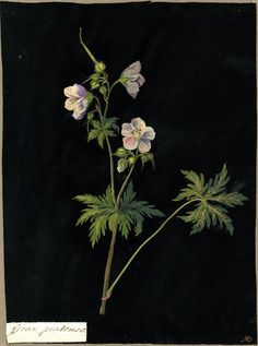 Mary Delany (1700-1788) - Geranium pratense, from an album (Vol.IV, 64), 1780  collage of coloured papers, with bodycolour and watercolour, on black ink background