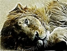 Indischer Löwe - Indian Lion