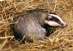Hope to avoid badger cull in East Sussex