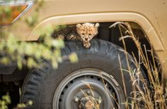 One of the cubs seeks an unusual hiding place as it observes its siblings playing from the...