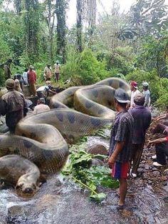 World's biggest snake Anaconda found in South America. It has killed 257 human beings and 2325 animals. It is 134 feet long and 2067 kgs. Africa's Royal British commandos took 37 days to get it killed.World's biggest snake Anaconda Sure. And the fact Giant Anaconda, Anaconda Snake, Anaconda Attack, Green Anaconda, Big Animals, Animals And Pets, Funny Animals, World Biggest Snake, Beautiful Creatures