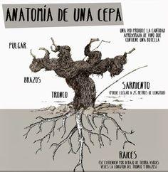 Anatomía de una cepa #Sherry #Jerez #spanish