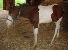 American Paint Horse Association for Sale in Pennsylvania: Blue. Beautiful bay and white colt and one blue eye. He is UTD on shots and wormings. He is halter broke and learning to lead. He is a big colt with nice straight legs. View seller info here: