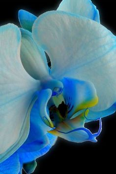 All blue orchids are dyed. There are no orchids that grow naturally in blue. Unusual Flowers, Amazing Flowers, My Flower, Flower Power, Beautiful Flowers, Beautiful Gorgeous, Absolutely Stunning, Blue Orchids, Orchid Flowers