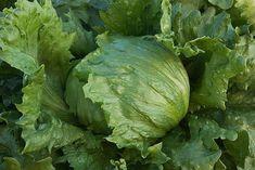 Heirloom iceburg lettuce