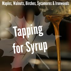 Discover the many varieties of trees that can be tapped for syrup.
