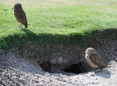 Brazil - A pair of owls on the course ahead of the preparation for the golf competition during the 2016 Rio Olympic Games