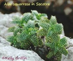 Aloe squarrosa in Socotra by Kelly Griffin