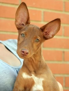 Tango, Podenco pup