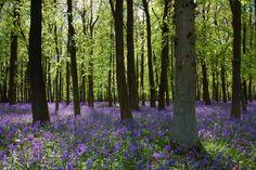 Dockey Wood - Buckinghamshire, England