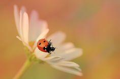 ladybug by Ella * on Ladybug, Wildlife, Stud Earrings, Nature, Flowers, Naturaleza, Stud Earring, Nature Illustration, Royal Icing Flowers