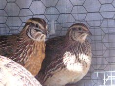 what you need to know about colours, dominant genes and breeding quails..all really   Coturnix Quail Info - Catawba's Coturnix Quails