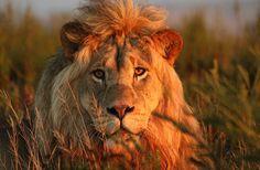lion gondwana - Hledat Googlem