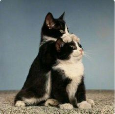 Great picture of the baby Tuxedo twins...
