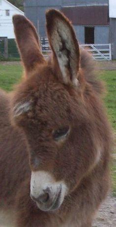 Really cute mini donkey
