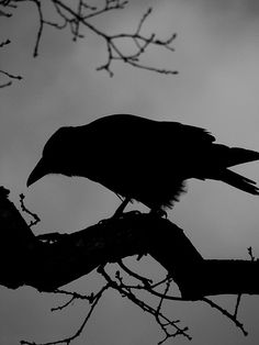 Beautiful picture. I love crows. The Incensewoman