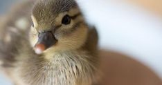Pictures of ducks are my weakness
