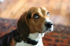 that look #beagles