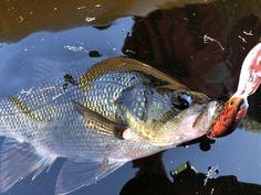 Australian Bass, Fish, Ichthys