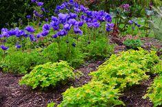 Hacquetia epipactis och anemoner