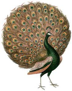 Vintage-Peacock-Image-GraphicsFairy.jpg 1500×1895 пиксел.