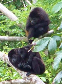 Our Backyard Monkeys