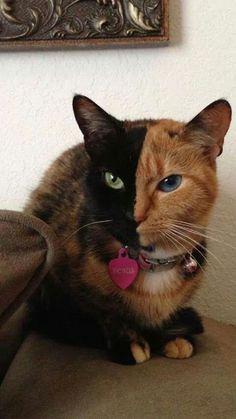 Venus the Chimera Cat