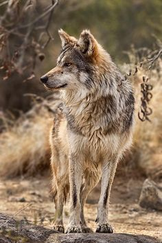 Rare Mexican Wolf, [Canis lupus baileyi] in the Sonoran Desert, Mexico by Bob Jensen