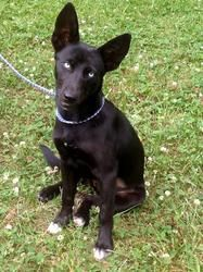 Katie ~ Beautiful Ice Blue eyes! is an adoptable Labrador Retriever Dog in Stroudsburg, PA. 5/31/13 Meet Katie a female black shepherd/ lab mix. She has such dreamy  ice blue eyes and they don't come ...