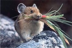 The Pika is a small mammal, with short limbs, rounded ears, and no tail. Pikas are native to cold weather, mostly in Asia, North America and Eastern Europe. Most of them live on rocky mountain sides.