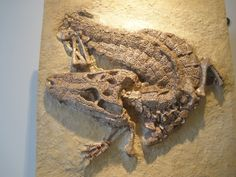 Fossil Alligator - Alligator prenasalis - This extinct member of the family Alligatoridae is the earliest known member of genus Alligator. It is a well known species from many fossils collected in the Oligocene Epoch - 33.9 ± 0.1 to 23.03 ± 0.05 Ma (million years ago) - layer of the Chadron & Brule Formations in South Dakota