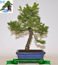 La specie Picea Jezoensis si adatta perfettamente a tutti gli stili bonsai a tronco eretto. Bonsai, String Garden