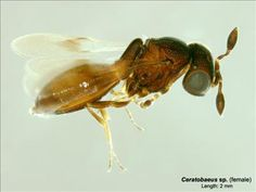 Australian National Insect Collection Database- Ceratobaeus sp.