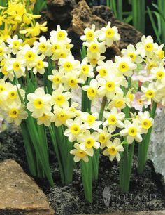 """Miniature Daffodil 'Minnow'. Narcissus. 6"""" tall. Blooms in April."""