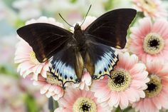 Charaxes tropical butterfly on Gerber Daisy