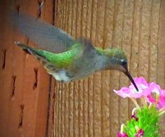 Backyard Hummingbird