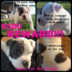 lizardmarsh: Scott LA: REWARD for Stolen Pit Bull puppy
