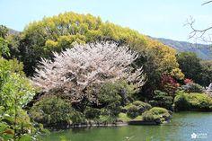 Japan kudasai ! Japan, River, Flowers, Plants, Outdoor, Gardens, Atelier, Cherry Blossom, Japan Trip