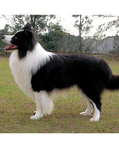 Border Collie-beautiful animal really well groomed.