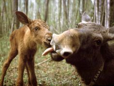 Moose are one of those animals, like camels, that seem to be made from extra parts, thus they make people laugh, make people love them, & are very entertaining to watch, unless they're in the road. Goofy Mother and Baby Moose