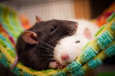 What You Need to Know About Keeping a Rat as a Pet