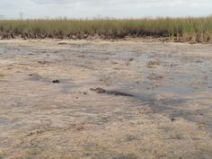 Low water levels in the sawgrass marsh area, with an alligator!!