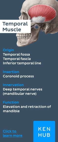 #musclefacts about the temporal muscle. Click for more info about its #anatomy
